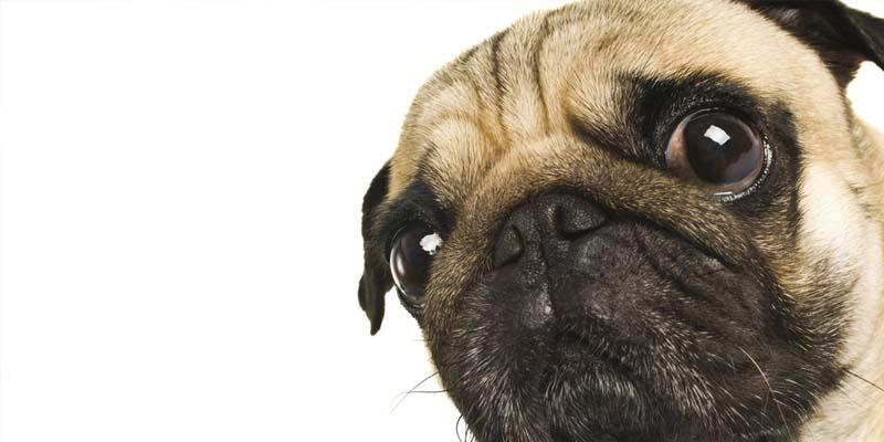 como limpiar los ojos de tu perro