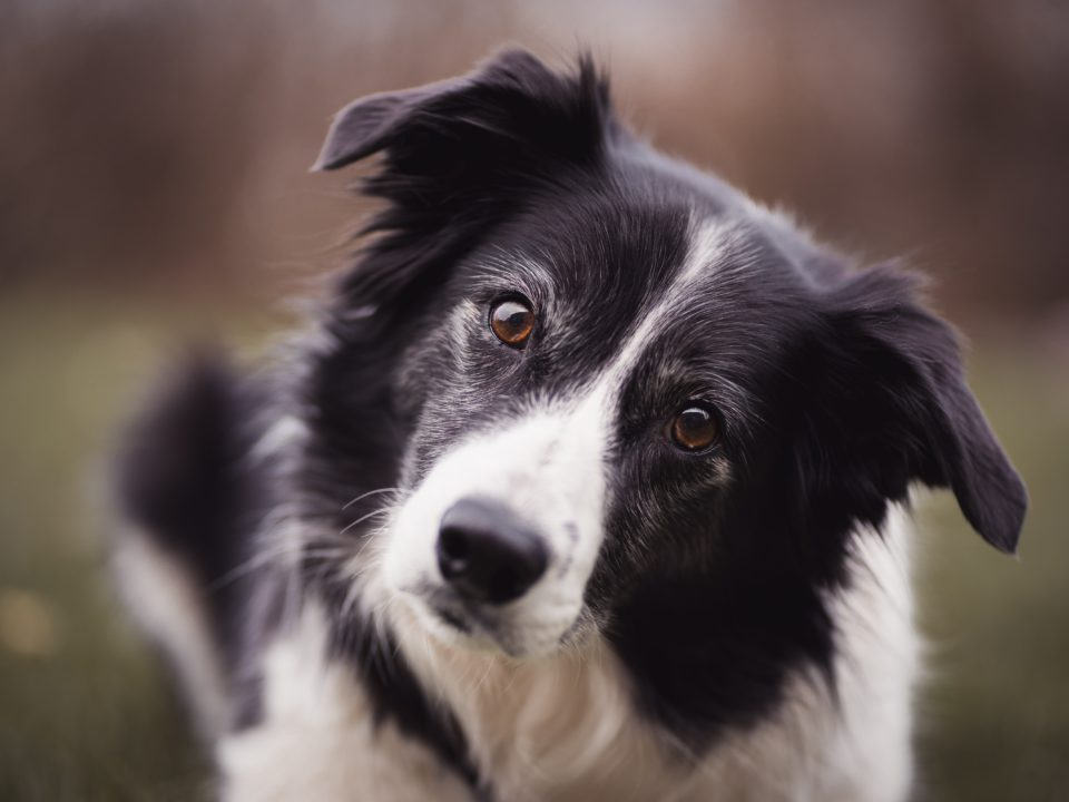 Historia del Border Collie